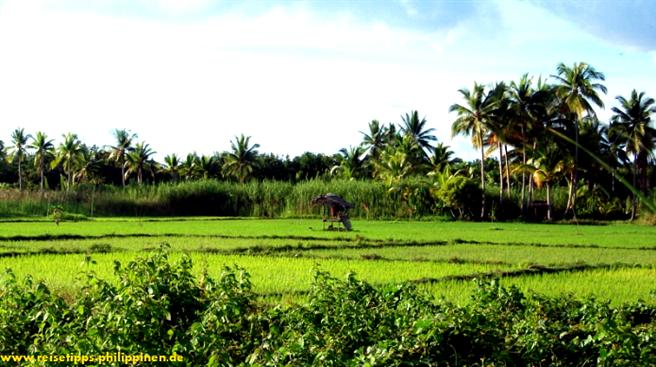 Leyte, ricefields